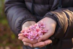 Fiori di ciliegia rosa in mani, fuoco sul mezzo con il reparto basso immagine stock libera da diritti