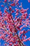 Fiori di ciliegia (sakura) Fotografia Stock Libera da Diritti