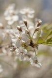 Fiori di ciliegia sopra il fondo vago della natura Fotografie Stock