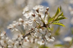 Fiori di ciliegia sopra il fondo vago della natura Fotografia Stock