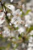 Fiori di ciliegia sopra il fondo vago della natura Immagini Stock