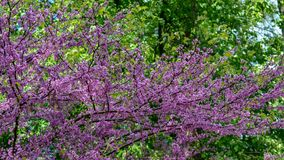 Fiori di ciliegia su un fondo degli alberi verdi immagini stock libere da diritti