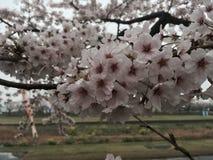 Fiori di ciliegia in Tarui Immagine Stock Libera da Diritti