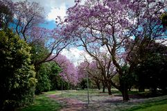 Fiori di ciliegia in università di città universitaria di Queensland fotografie stock