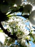 blossom in springtime stock image