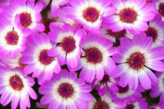 Fiori di cineraria dei fioristi Fotografie Stock