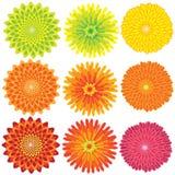 Fiori di colore del fiore del crisantemo di vettore Immagini Stock Libere da Diritti