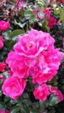 Fiori 2 di colore rosa Immagini Stock Libere da Diritti