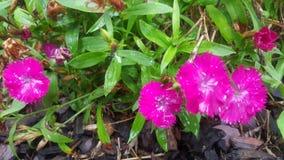 Fiori di colore rosa caldo Fotografia Stock Libera da Diritti