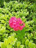 Fiori di colore rosa caldo Immagini Stock Libere da Diritti