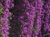 Fiori di colore rossastro, della pianta del rampicante fotografia stock libera da diritti