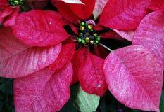 Fiori di colore rosso del Poinsettia fotografia stock libera da diritti
