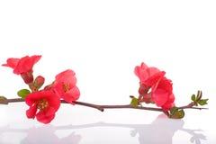 fiori di colore rosso dell'Frutta-albero immagine stock libera da diritti