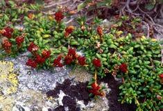 Fiori di colore rosso della montagna Immagini Stock