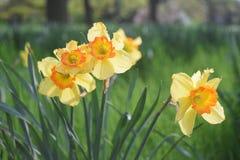 Fiori di Dafodil che fioriscono in primavera fotografie stock