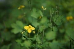 Fiori di erbe di giallo della pianta di majus del Chelidonium immagine stock