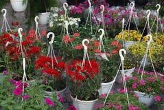 Fiori di estate in vasi Immagini Stock