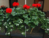 Fiori di estate in vasi Immagine Stock