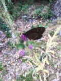 Fiori di farfalla immagine stock