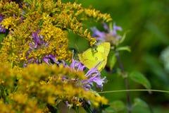 Fiori di farfalla Fotografia Stock