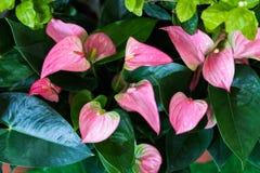 Fiori di fenicottero o fiori del ragazzo fotografia stock