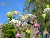 Fiori di fioritura di aquilegia bianco il giorno soleggiato Immagini Stock