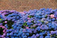 Fiori di fioritura blu e porpora di hortensia contro il muro di mattoni rosso di vecchia azienda agricola olandese Paesi Bassi di immagini stock