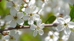 Fiori di fioritura d'impollinazione dell'estate della natura del movimento lento dei fiori della molla degli alberi dell'ape i be archivi video