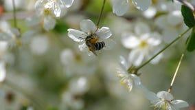 Fiori di fioritura d'impollinazione dell'estate della natura del movimento lento dei fiori della molla degli alberi dell'ape i be video d archivio