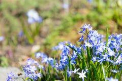 fiori di fioritura del blu con i petali meravigliosi Immagini Stock