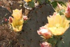 Fiori di fioritura del cactus fotografia stock libera da diritti