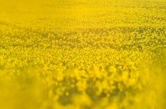 Fiori di fioritura del canola sul campo agricolo Violenza in natura in primavera Olio giallo luminoso Seme di ravizzone di fiorit Fotografie Stock Libere da Diritti