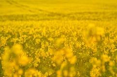 Fiori di fioritura del canola sul campo agricolo Violenza in natura in primavera Olio giallo luminoso Seme di ravizzone di fiorit Fotografia Stock Libera da Diritti