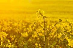 Fiori di fioritura del canola sul campo agricolo Violenza in natura in primavera Olio giallo luminoso Seme di ravizzone di fiorit Immagini Stock Libere da Diritti