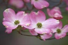 Fiori di fioritura del corniolo fotografia stock libera da diritti