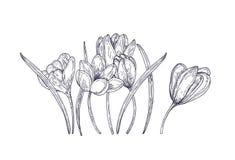 Fiori di fioritura del croco della molla isolati su fondo bianco Pianta di fioritura del giardino stagionale splendido Priorità b illustrazione vettoriale