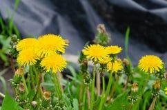 Fiori di fioritura del dente di leone su un'erba verde fotografia stock libera da diritti