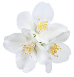 Fiori di fioritura del gelsomino Immagini Stock Libere da Diritti