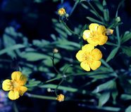 Fiori di fioritura del ranuncolo, fine - sulla vista fotografie stock libere da diritti