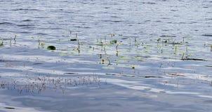 Fiori di fioritura dell'acqua: ninfee gialle Núphar lútea immagini stock libere da diritti
