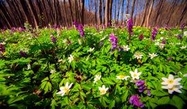 Fiori di fioritura dell'anemone nella foresta Immagine Stock