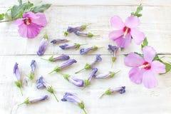 Fiori di fioritura dell'ibisco Fotografia Stock Libera da Diritti