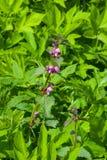 Fiori di fioritura dell'Morto-ortica rossa o porpora, Lamium Purpureum, con le foglie sul fondo del bokeh, macro, fuoco selettivo Immagine Stock Libera da Diritti