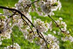Fiori di fioritura della ciliegia Fotografia Stock