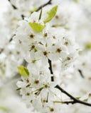 Fiori di fioritura della pera di Bradford della sorgente Immagini Stock Libere da Diritti