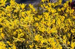 Fiori di fioritura della zampa di canguro Fotografia Stock