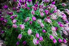 Fiori di fioritura di porpora favolosa nel giardino di primavera Immagine Stock