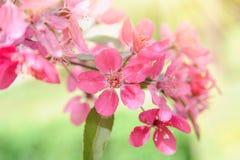 Fiori di fioritura di rosa scuro Priorità bassa della sorgente Immagine Stock Libera da Diritti