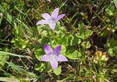 Fiori di fioritura di rosa viola nell'erba fotografia stock