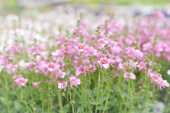 Fiori di fioritura di Twinspur Fotografia Stock